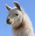 llama, throat latch