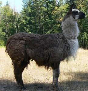 matted llama coat, matted wool, llama wool matted, llama rescue