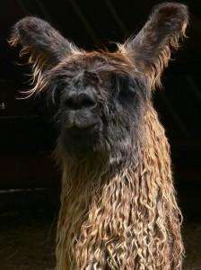 suri llama, llama rescue, alpaca rescue