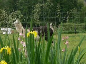 llama rescue home, animal rescue, sanctuary, natural fibre