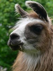 pure llama fibre, huacaya, lama,